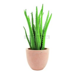 Aloe vera, 63 cm