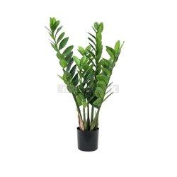 Zamifolia kaktus, 70cm