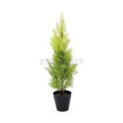 Cypřiš světlý v květináči, 60 cm