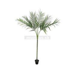 Areca palma s velkými listy, 180cm
